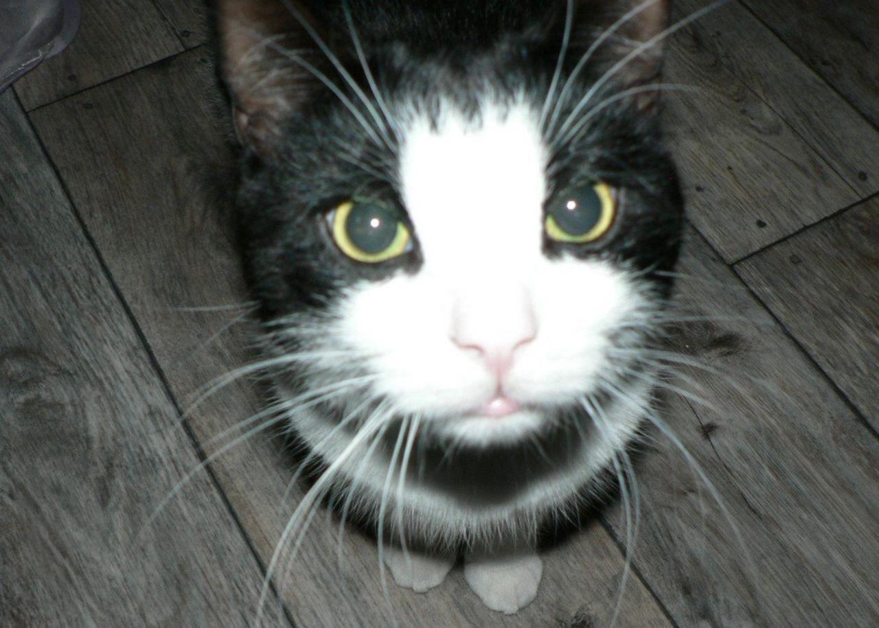 Black_and_white_cat.jpg