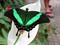 EmeraldSwallowtail.jpg