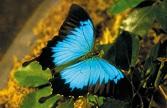 UlyssesSwallowtail.jpg