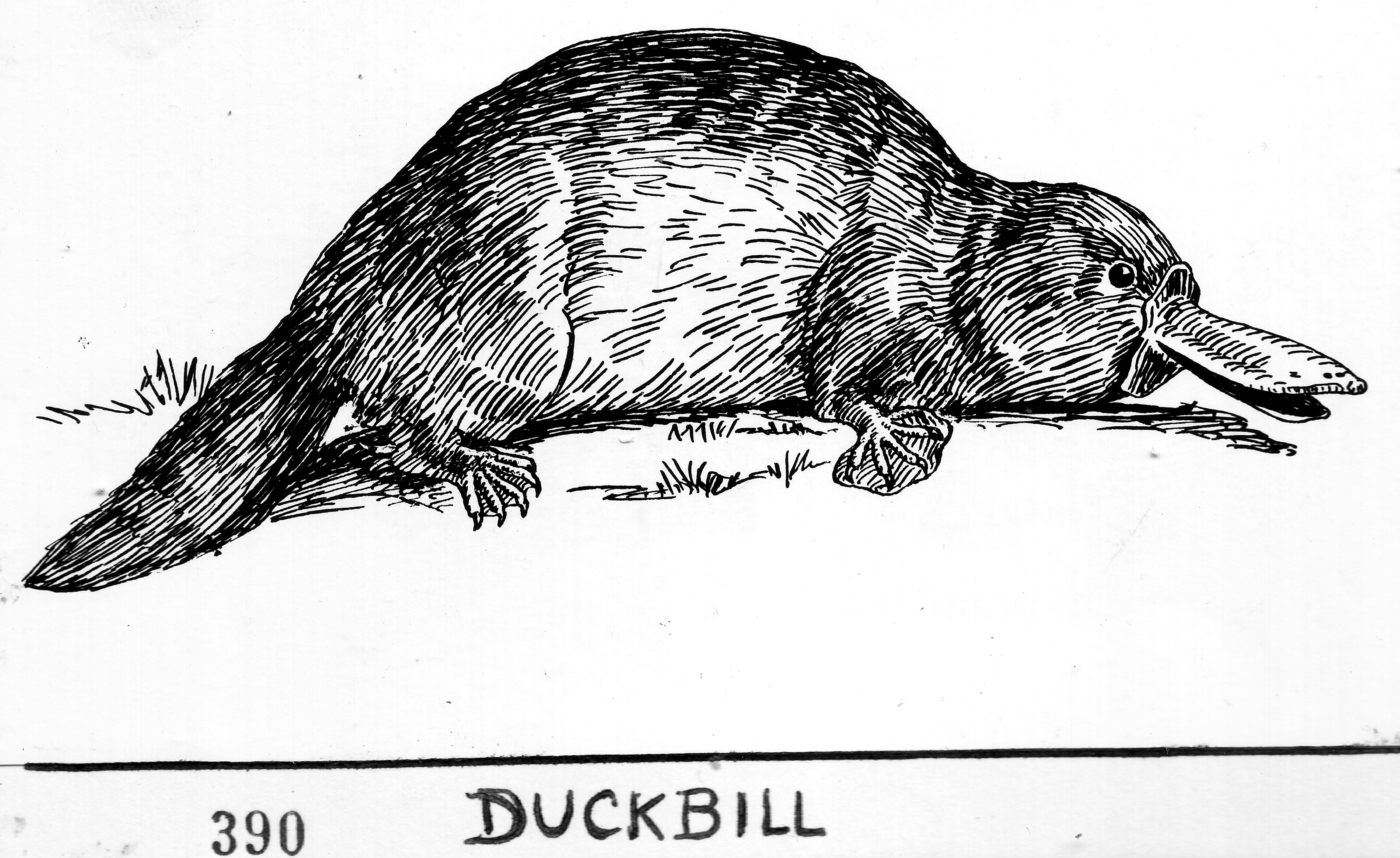 Duckbill_Platypus_(line_art)_(PSF-D280000_(cropped)).png