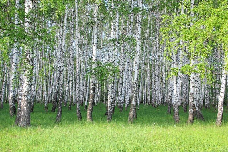 2940248-spring-birch-grove.jpg