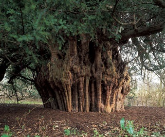 ancient%20yew%20tree%20cropped.jpg