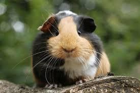 guineapig