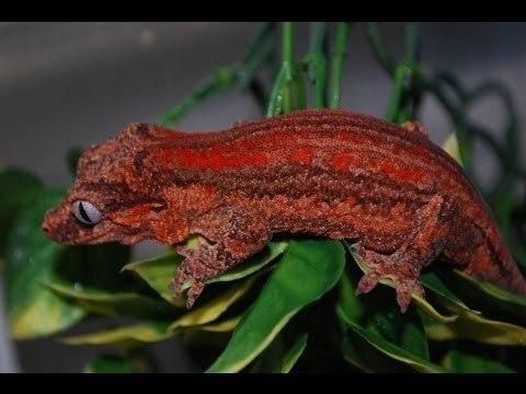 RandomGuy331_Red_Lizard