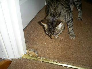 How To Stop Cats From Scratching Carpet Carpet Review